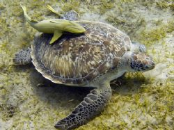 This turtle was grazing on the sea-weed pasture. Image ta... by Michal Wojewoda 